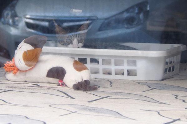 キジ白仔猫 カゴの中