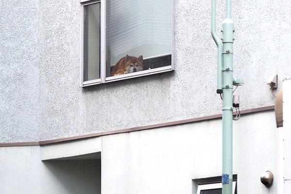 柴犬さん 窓