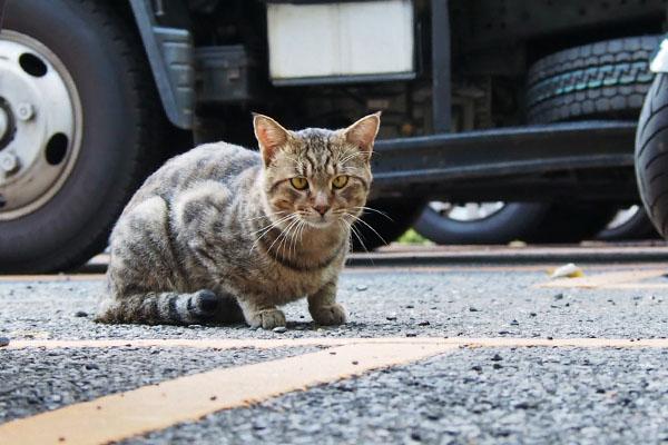 きじとら猫現る