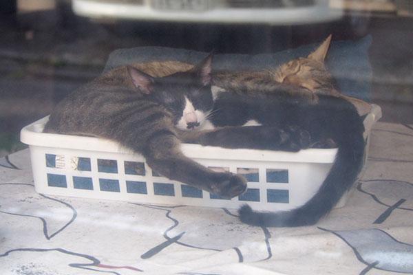 らい太と白黒仔猫カゴの中で添い寝