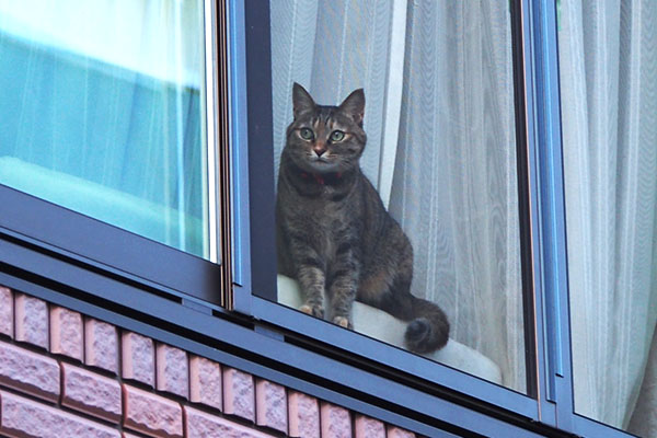 美猫のむぎわら猫さん