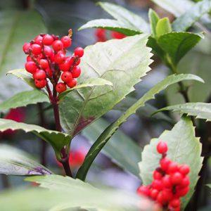 flower senryo red