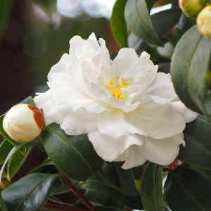 flower white cameria
