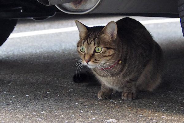家猫らい太 シマヲを見る