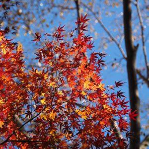 flower red maple leaves