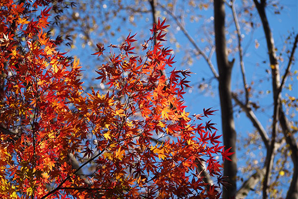 flower red leaves maple