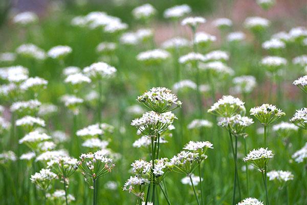 flower white troop