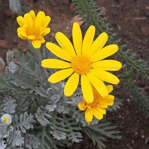 flower yellow daisy