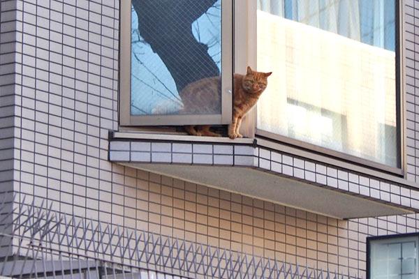 茶トラ1 窓に挟まる感じ