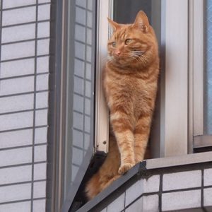 ginger cat at window