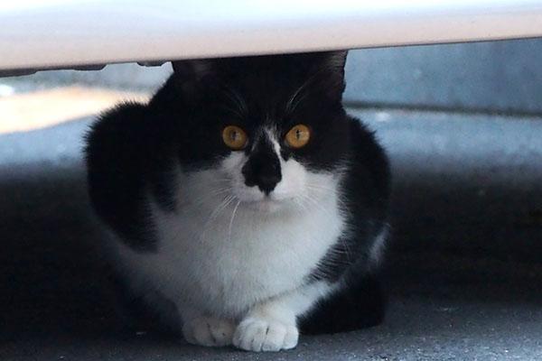 orange eye bicolor cat
