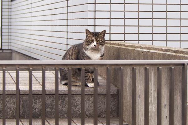 グリエリアに初猫 キジ白 アシメ