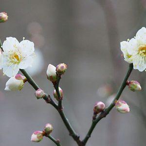 ume flower white