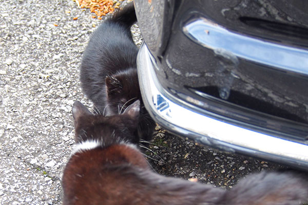 仔猫に近寄るチョモ