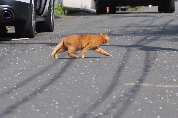 ginger cat cross the road