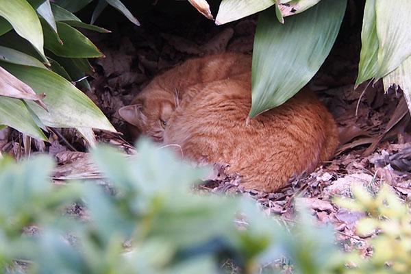 丸くなって寝ているルーカス
