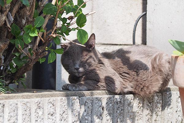 ロシグレ 塀の上で日向ぼっこ