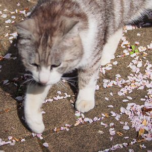 chrom with sakura petals