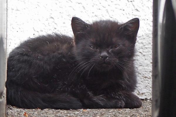 黒仔猫 シャーと言った後の顔