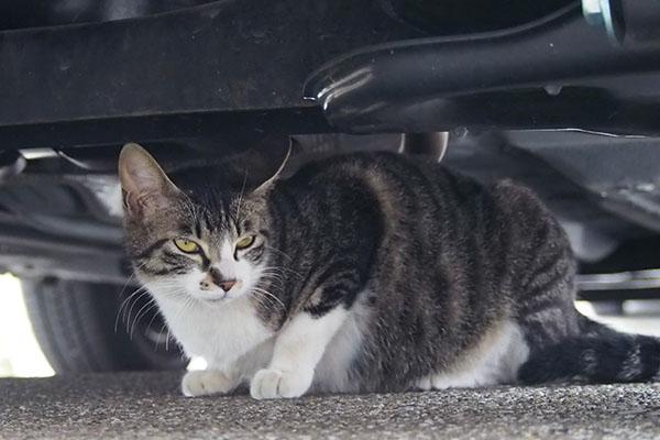 リンクス 他の猫三見てる