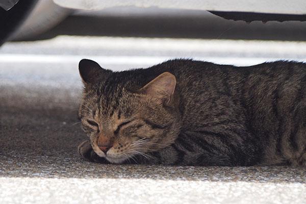 シマヲ 車の下で眠そうに