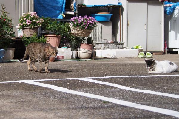 隣りの兄猫らい太右しろまる