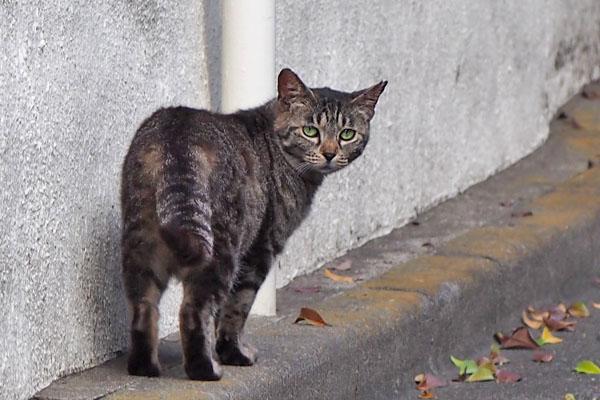 new cat tabby tnrcat