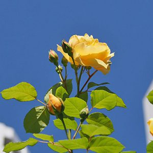 yellow rose in the sky