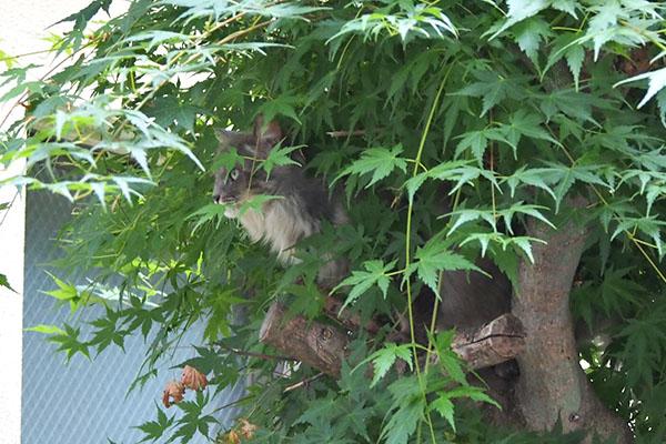 mafu on the tree