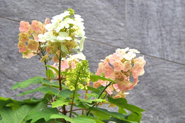 kashiwabaajisai flower