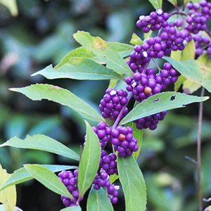purple seeds flower