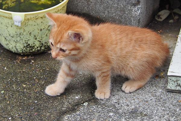 ginger kitten one step