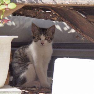 kitten of linx