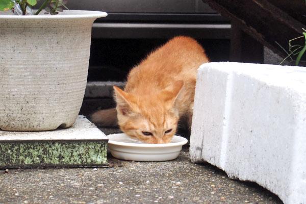 茶トラ仔猫 食べてる
