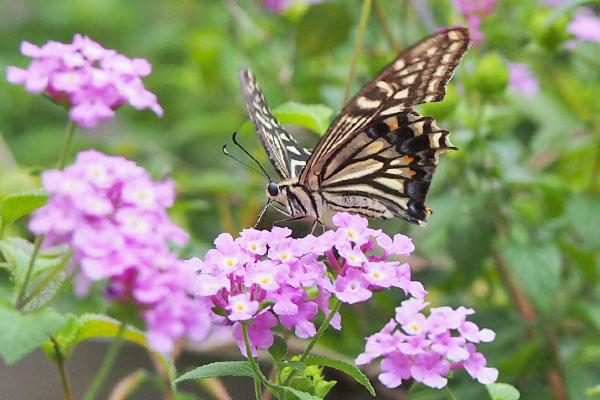 蝶 正面からのやつ