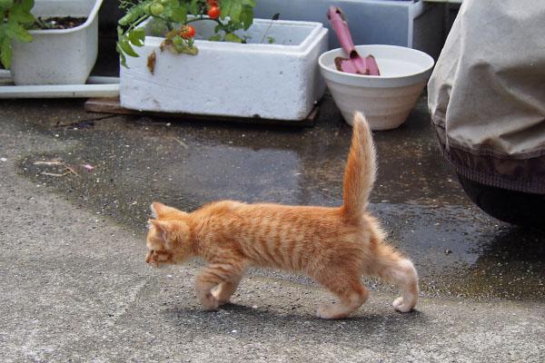茶トラ仔猫 しっぽを上げて前進