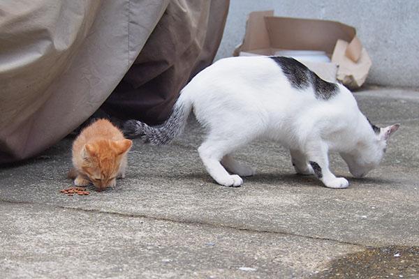 仔猫カリカリゲット 兄猫譲る