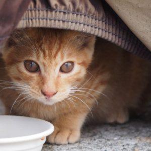 ginger kitten face